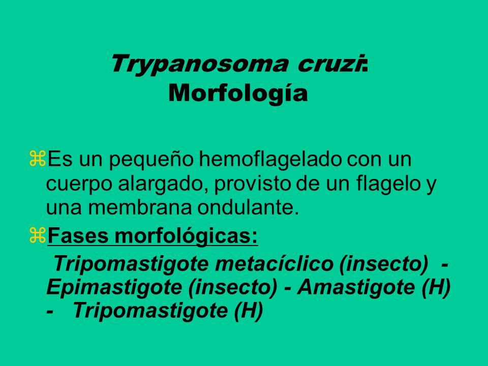 Trypanosoma cruzi: Morfología Es un pequeño hemoflagelado con un cuerpo alargado, provisto de un flagelo y una membrana ondulante. Fases morfológicas: