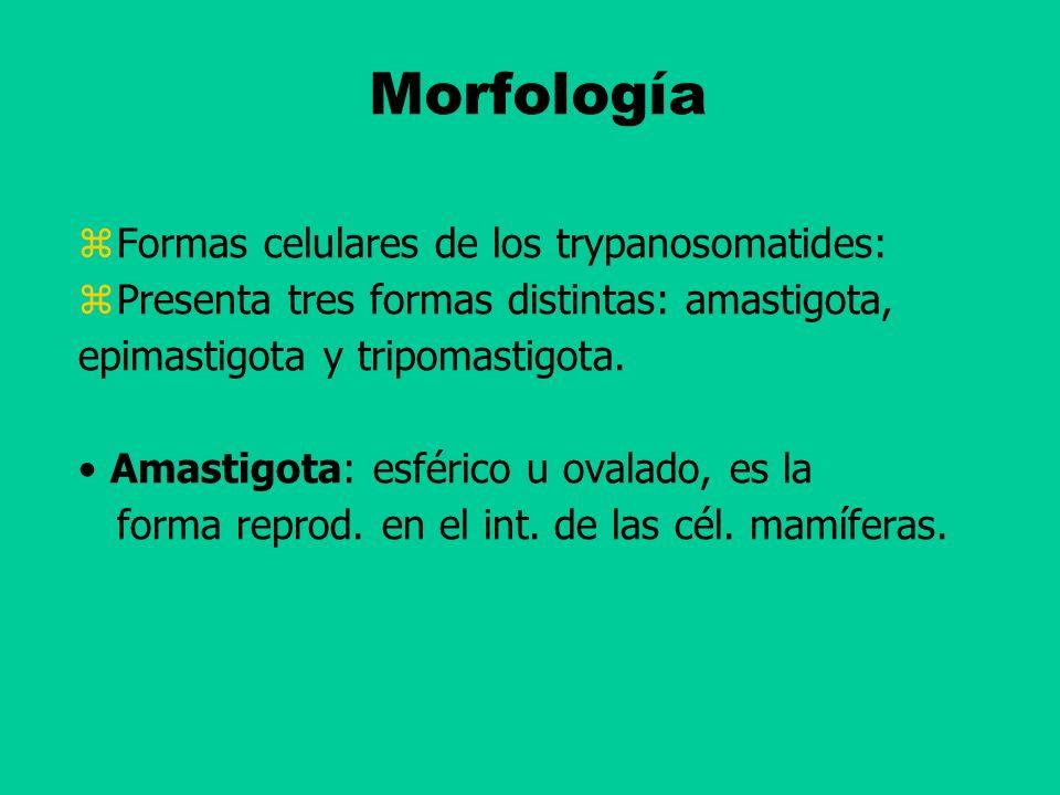 Morfología Formas celulares de los trypanosomatides: Presenta tres formas distintas: amastigota, epimastigota y tripomastigota. Amastigota: esférico u