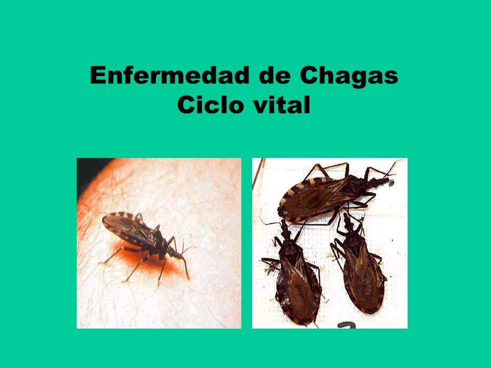 Enfermedad de Chagas Ciclo vital