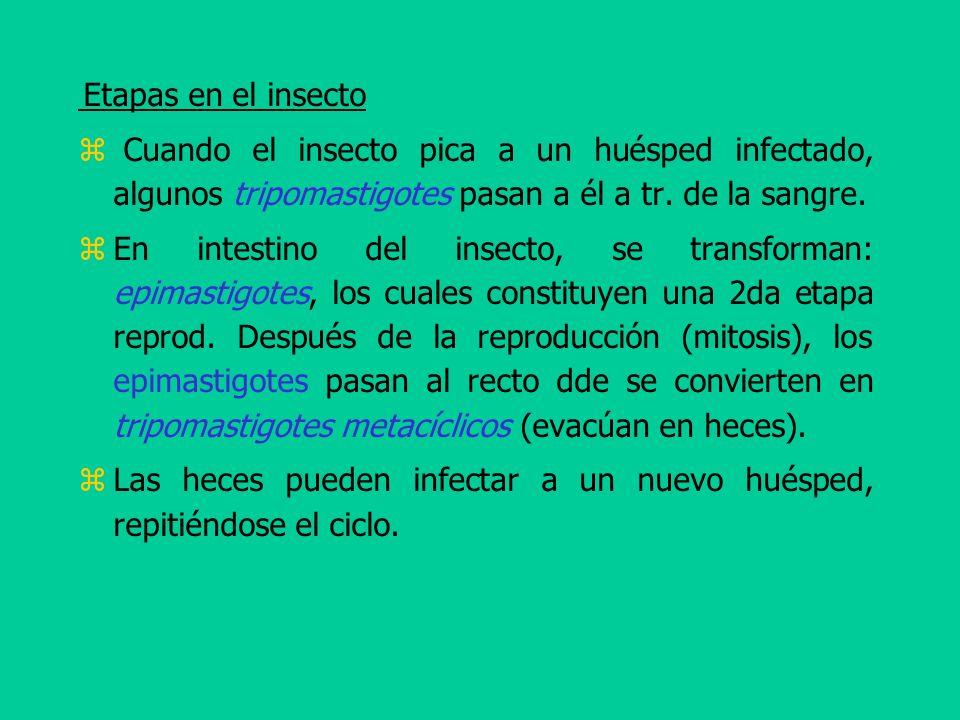 Etapas en el insecto Cuando el insecto pica a un huésped infectado, algunos tripomastigotes pasan a él a tr. de la sangre. En intestino del insecto, s