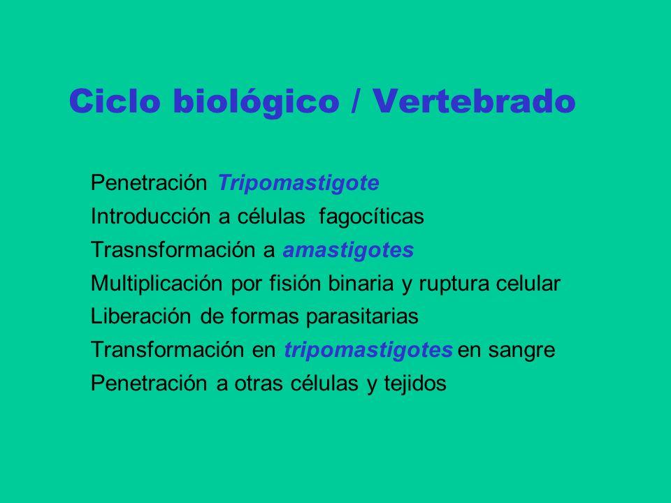Ciclo biológico / Vertebrado Penetración Tripomastigote Introducción a células fagocíticas Trasnsformación a amastigotes Multiplicación por fisión bin