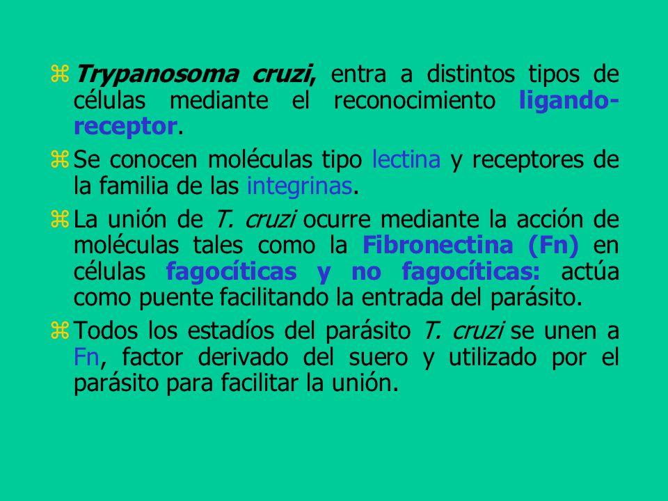 Trypanosoma cruzi, entra a distintos tipos de células mediante el reconocimiento ligando- receptor. Se conocen moléculas tipo lectina y receptores de