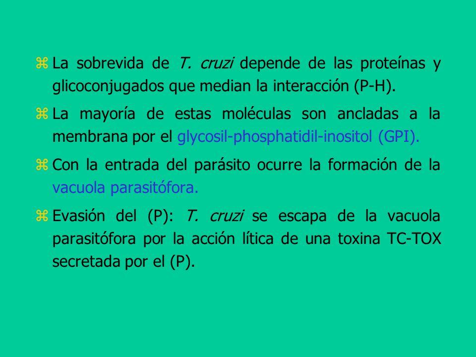 La sobrevida de T. cruzi depende de las proteínas y glicoconjugados que median la interacción (P-H). La mayoría de estas moléculas son ancladas a la m