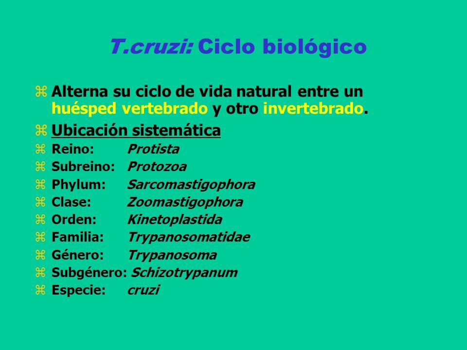 T.cruzi: Ciclo biológico Alterna su ciclo de vida natural entre un huésped vertebrado y otro invertebrado. Ubicación sistemática Reino: Protista Subre