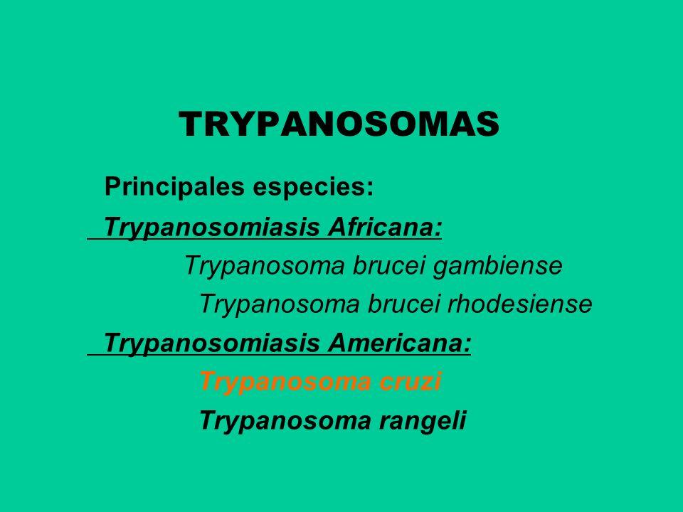 TRYPANOSOMAS Principales especies: Trypanosomiasis Africana: Trypanosoma brucei gambiense Trypanosoma brucei rhodesiense Trypanosomiasis Americana: Tr