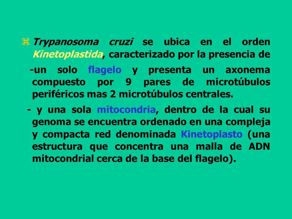Trypanosoma cruzi se ubica en el orden Kinetoplastida, caracterizado por la presencia de -un solo flagelo y presenta un axonema compuesto por 9 pares