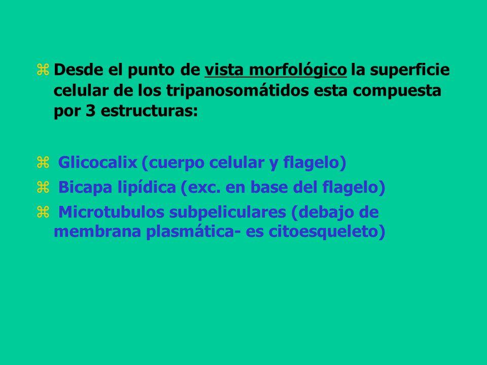 Desde el punto de vista morfológico la superficie celular de los tripanosomátidos esta compuesta por 3 estructuras: Glicocalix (cuerpo celular y flage