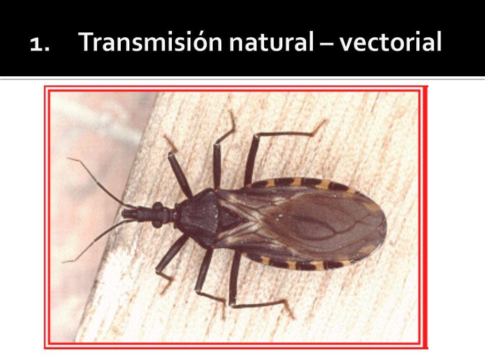 Chagas congénito La denominación de congénito o connatal sólo hace referencia a la vía de transmisión del T.