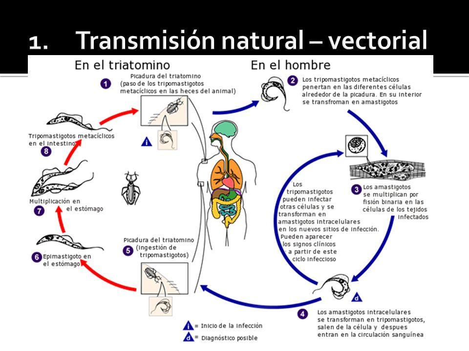 Transmisión vectorial oscila entre 5 y 12 días, Transmisión por transfusión de sangre o plasma, los primeros síntomas aparecen entre los 25 y 45 días, habiéndose citado casos de mayor tiempo de incubación.