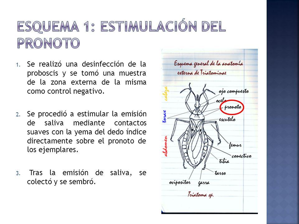 1. Se realizó una desinfección de la proboscis y se tomó una muestra de la zona externa de la misma como control negativo. 2. Se procedió a estimular