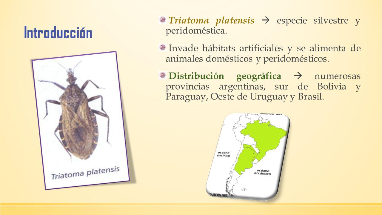 Introducción Triatoma platensis especie silvestre y peridoméstica. Invade hábitats artificiales y se alimenta de animales domésticos y peridomésticos.