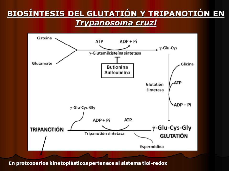 BIOSÍNTESIS DEL GLUTATIÓN Y TRIPANOTIÓN EN Trypanosoma cruzi En protozoarios kinetoplásticos pertenece al sistema tiol-redox