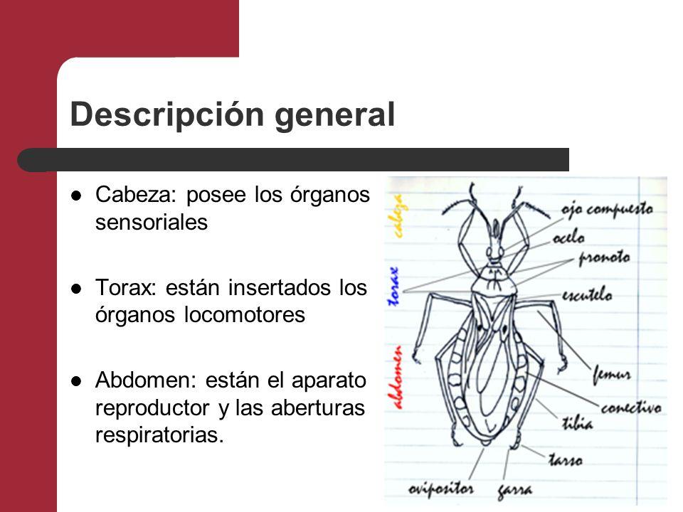 Descripción general Cabeza: posee los órganos sensoriales Torax: están insertados los órganos locomotores Abdomen: están el aparato reproductor y las