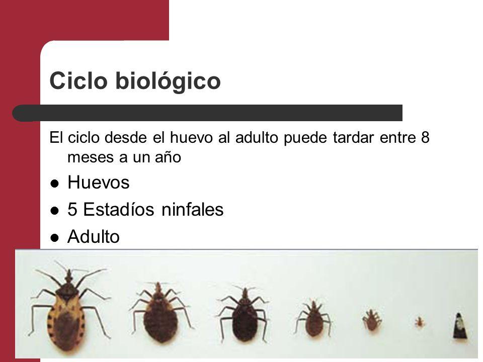 Ciclo biológico El ciclo desde el huevo al adulto puede tardar entre 8 meses a un año Huevos 5 Estadíos ninfales Adulto