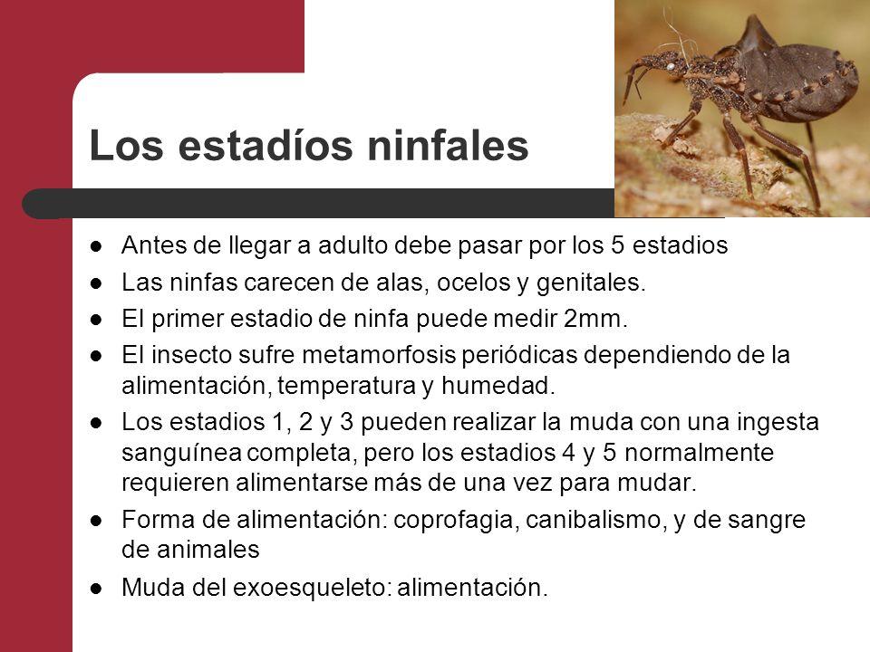 Los estadíos ninfales Antes de llegar a adulto debe pasar por los 5 estadios Las ninfas carecen de alas, ocelos y genitales. El primer estadio de ninf