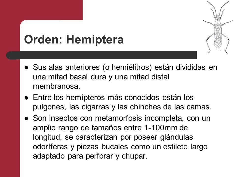 Orden: Hemiptera Sus alas anteriores (o hemiélitros) están divididas en una mitad basal dura y una mitad distal membranosa. Entre los hemípteros más c