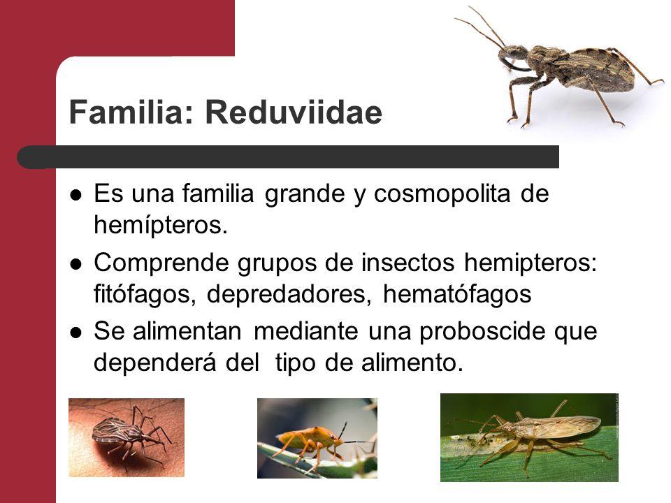 Familia: Reduviidae Es una familia grande y cosmopolita de hemípteros. Comprende grupos de insectos hemipteros: fitófagos, depredadores, hematófagos S