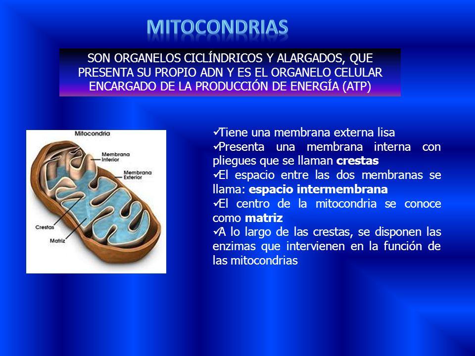 SON ORGANELOS CICLÍNDRICOS Y ALARGADOS, QUE PRESENTA SU PROPIO ADN Y ES EL ORGANELO CELULAR ENCARGADO DE LA PRODUCCIÓN DE ENERGÍA (ATP) Tiene una memb