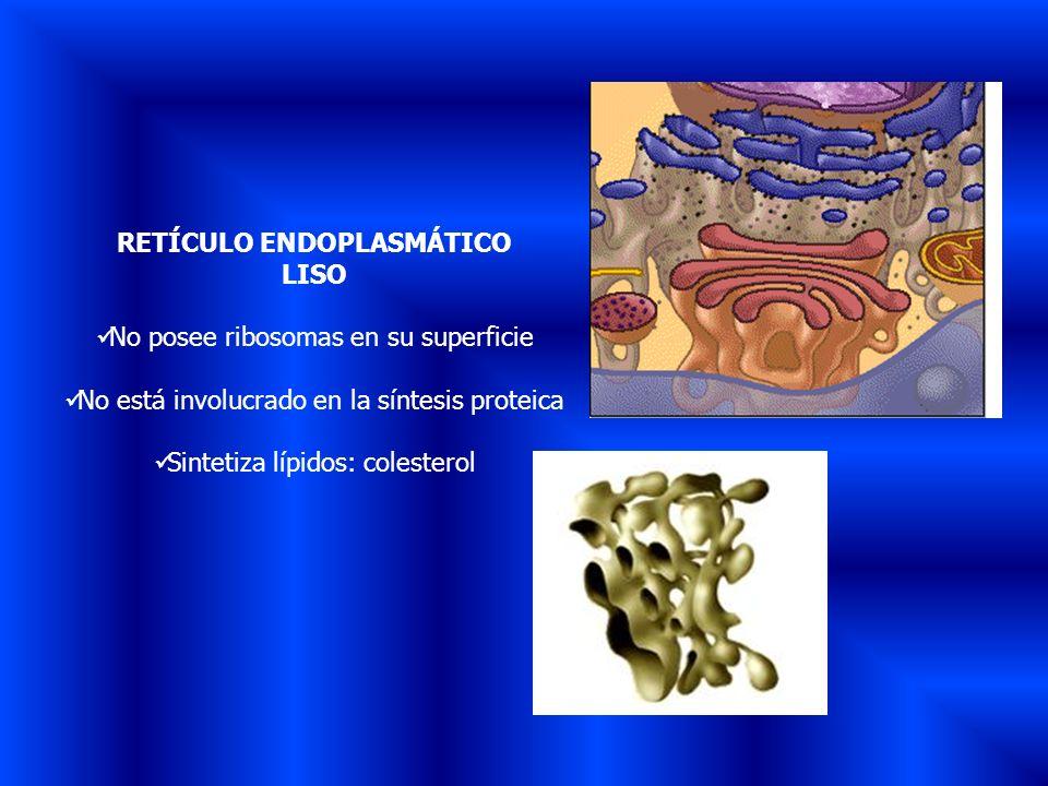 RETÍCULO ENDOPLASMÁTICO LISO No posee ribosomas en su superficie No está involucrado en la síntesis proteica Sintetiza lípidos: colesterol