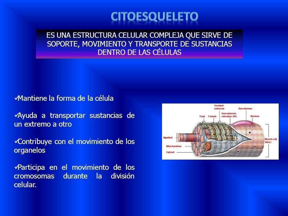 ES UNA ESTRUCTURA CELULAR COMPLEJA QUE SIRVE DE SOPORTE, MOVIMIENTO Y TRANSPORTE DE SUSTANCIAS DENTRO DE LAS CÉLULAS Mantiene la forma de la célula Ay