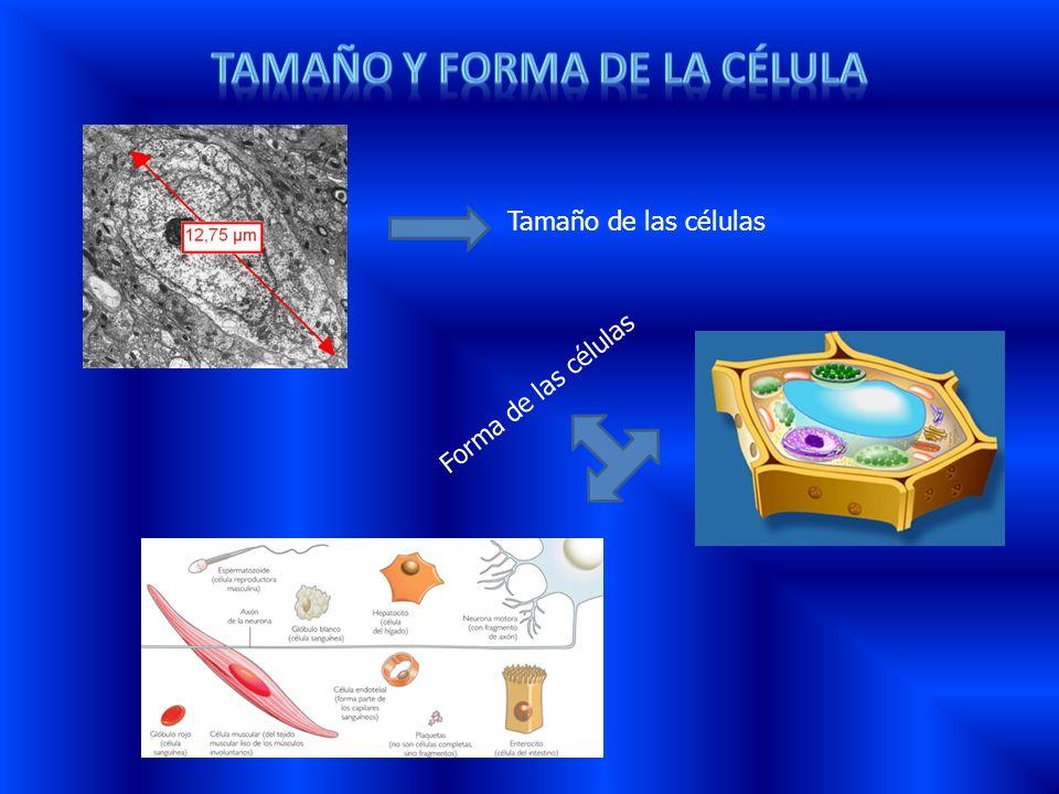 Tamaño de las células Forma de las células
