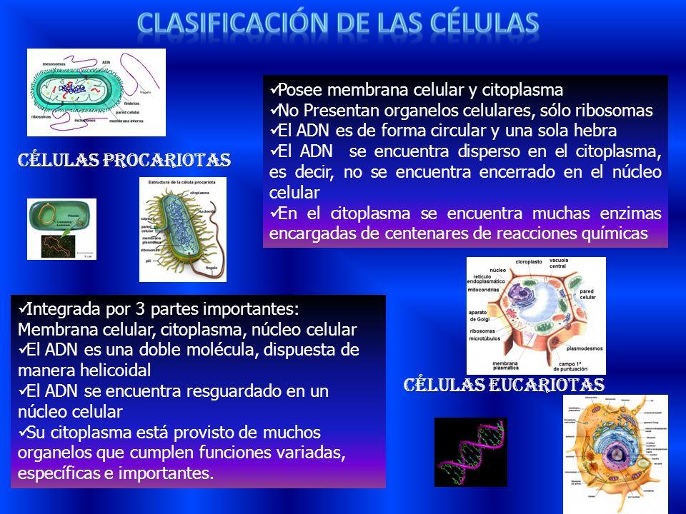 Células Procariotas Células Eucariotas Integrada por 3 partes importantes: Membrana celular, citoplasma, núcleo celular El ADN es una doble molécula,