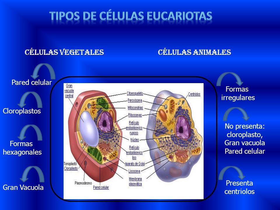 Células vegetales Células animales Pared celular Cloroplastos Formas hexagonales Gran Vacuola Formas irregulares No presenta: cloroplasto, Gran vacuol