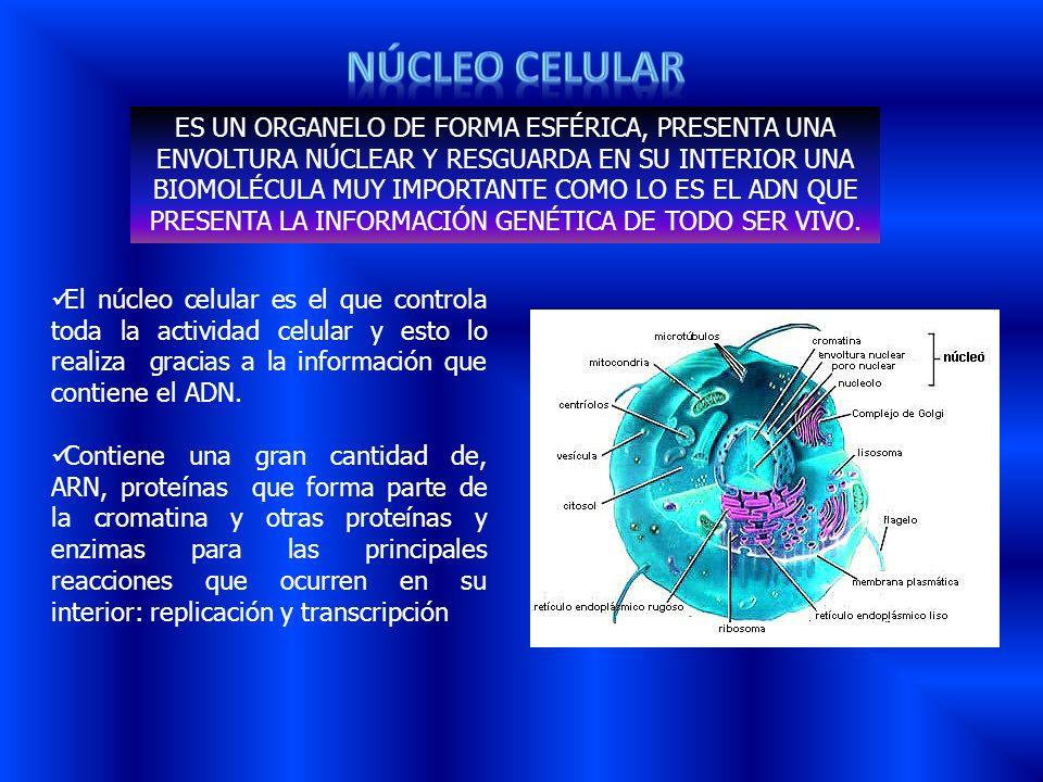 El núcleo celular es el que controla toda la actividad celular y esto lo realiza gracias a la información que contiene el ADN. Contiene una gran canti