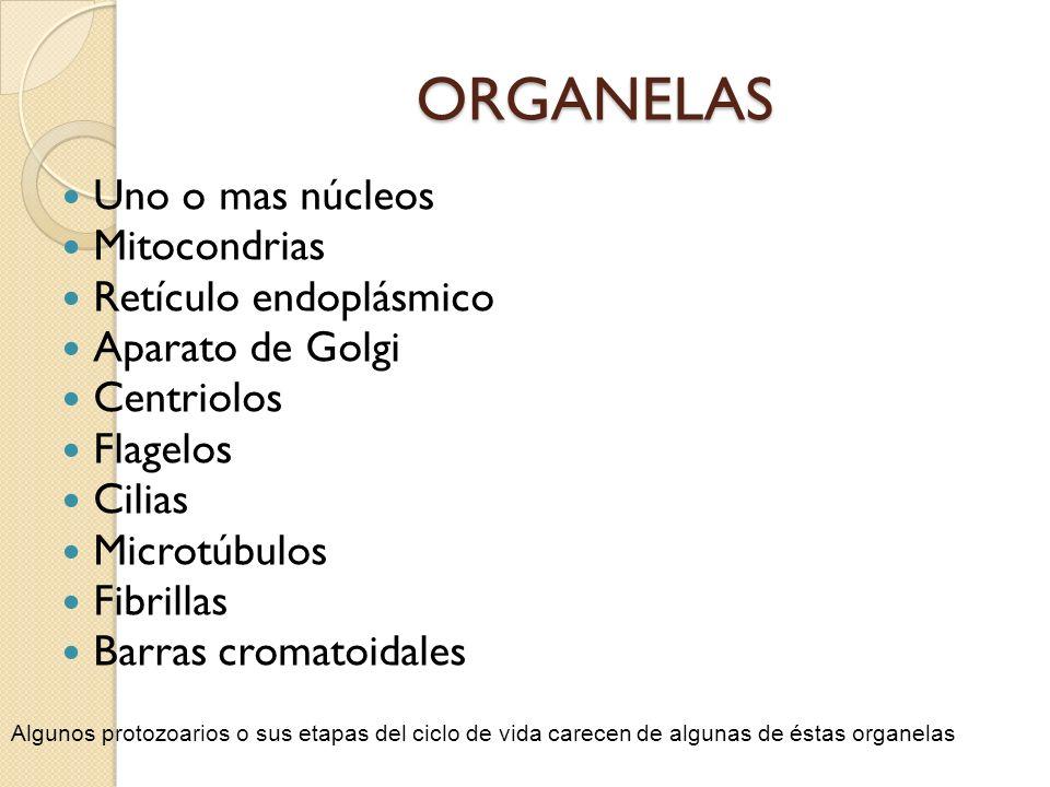 ORGANELAS Uno o mas núcleos Mitocondrias Retículo endoplásmico Aparato de Golgi Centriolos Flagelos Cilias Microtúbulos Fibrillas Barras cromatoidales