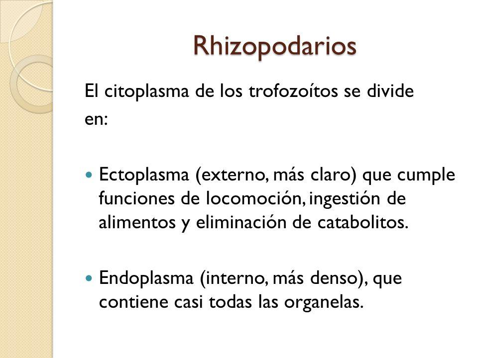 Rhizopodarios Rhizopodarios El citoplasma de los trofozoítos se divide en: Ectoplasma (externo, más claro) que cumple funciones de locomoción, ingesti