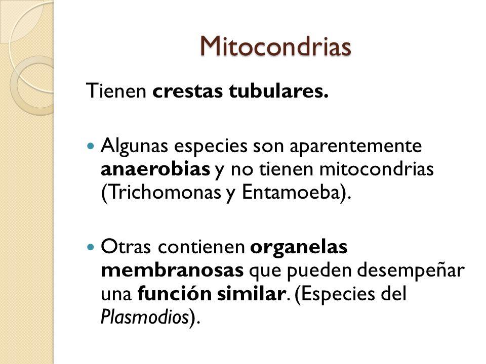 Mitocondrias Tienen crestas tubulares. Algunas especies son aparentemente anaerobias y no tienen mitocondrias (Trichomonas y Entamoeba). Otras contien