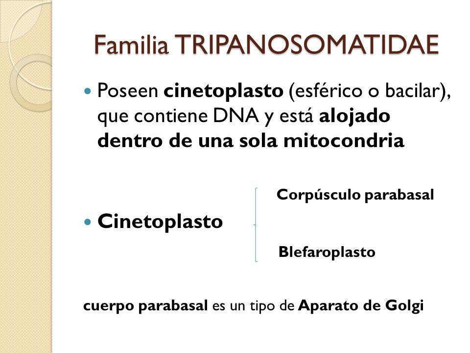 Familia TRIPANOSOMATIDAE Poseen cinetoplasto (esférico o bacilar), que contiene DNA y está alojado dentro de una sola mitocondria Corpúsculo parabasal