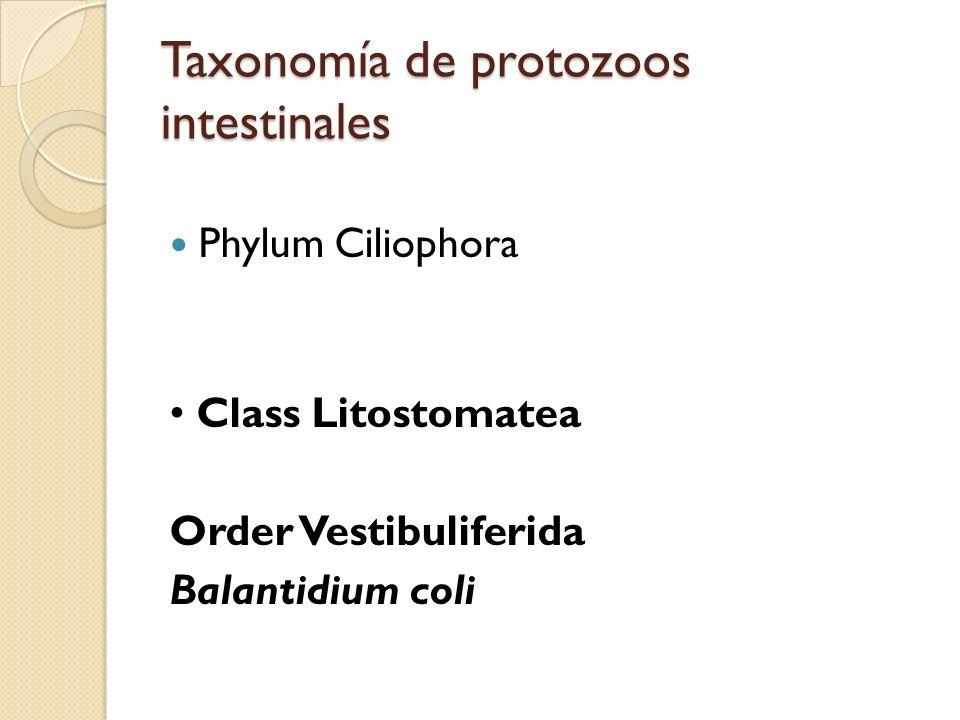 Taxonomía de protozoos intestinales Phylum Ciliophora Class Litostomatea Order Vestibuliferida Balantidium coli
