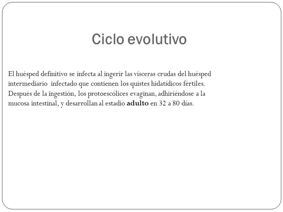 Ciclo evolutivo El huésped definitivo se infecta al ingerir las vísceras crudas del huésped intermediario infectado que contienen los quistes hidatídi