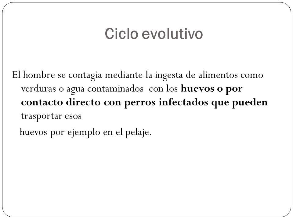Ciclo evolutivo El hombre se contagia mediante la ingesta de alimentos como verduras o agua contaminados con los huevos o por contacto directo con per