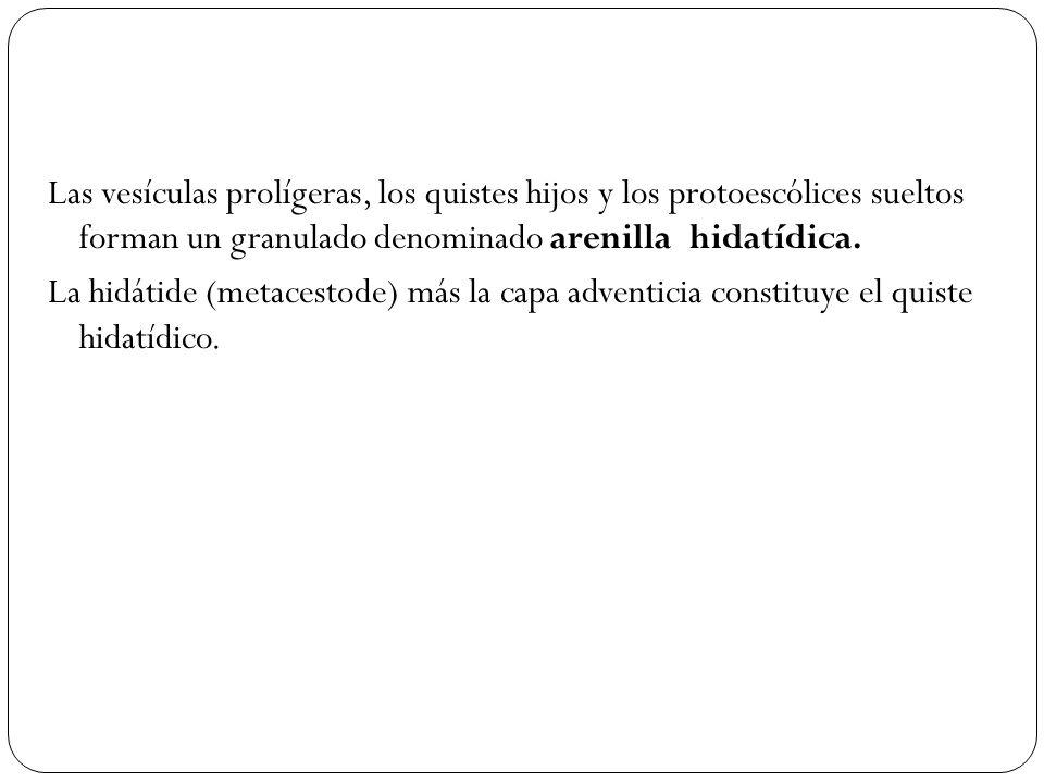 Las vesículas prolígeras, los quistes hijos y los protoescólices sueltos forman un granulado denominado arenilla hidatídica. La hidátide (metacestode)