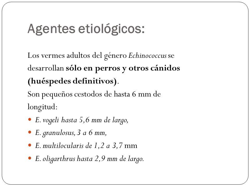 Agentes etiológicos: Los vermes adultos del género Echinococcus se desarrollan sólo en perros y otros cánidos (huéspedes definitivos). Son pequeños ce