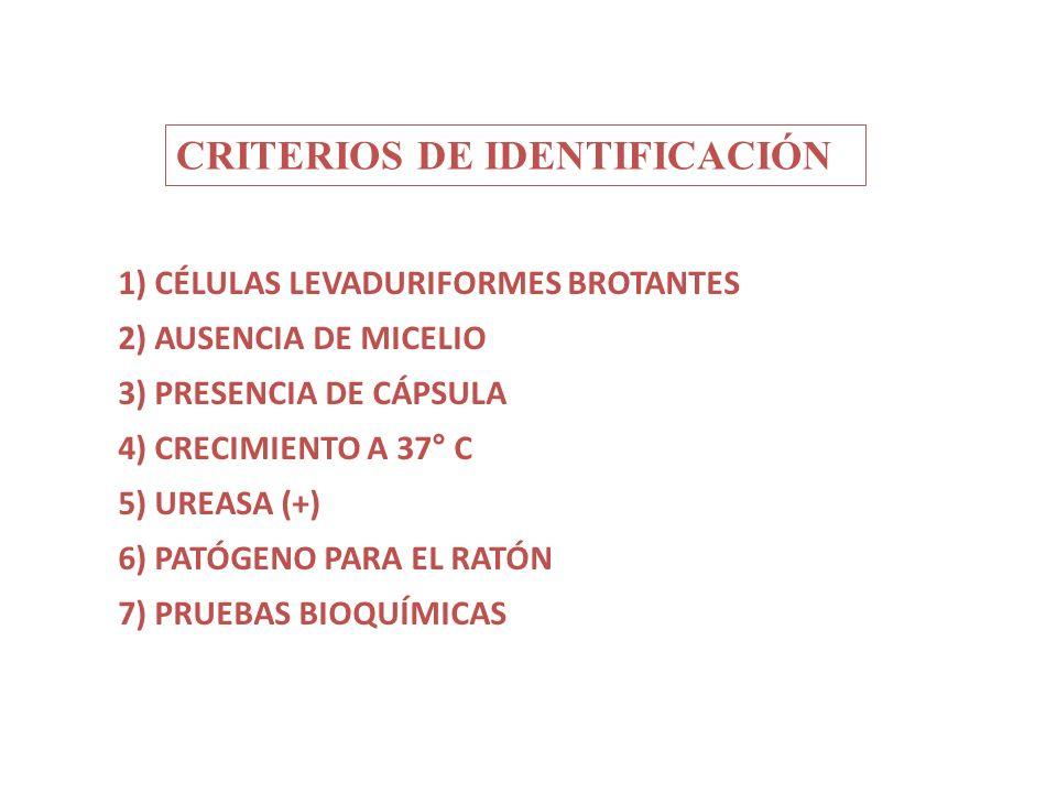 CRITERIOS DE IDENTIFICACIÓN 1) CÉLULAS LEVADURIFORMES BROTANTES 2) AUSENCIA DE MICELIO 3) PRESENCIA DE CÁPSULA 4) CRECIMIENTO A 37° C 5) UREASA (+) 6)