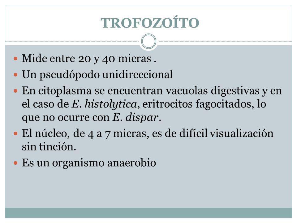 TROFOZOÍTO Mide entre 20 y 40 micras. Un pseudópodo unidireccional En citoplasma se encuentran vacuolas digestivas y en el caso de E. histolytica, eri