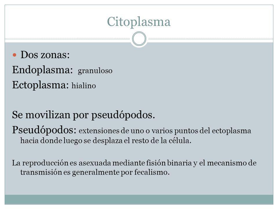 Citoplasma Dos zonas: Endoplasma: granuloso Ectoplasma: hialino Se movilizan por pseudópodos. Pseudópodos: extensiones de uno o varios puntos del ecto