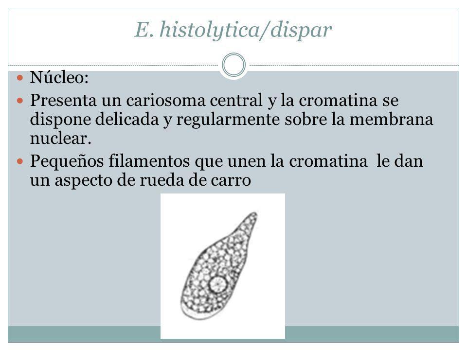 E. histolytica/dispar Núcleo: Presenta un cariosoma central y la cromatina se dispone delicada y regularmente sobre la membrana nuclear. Pequeños fila