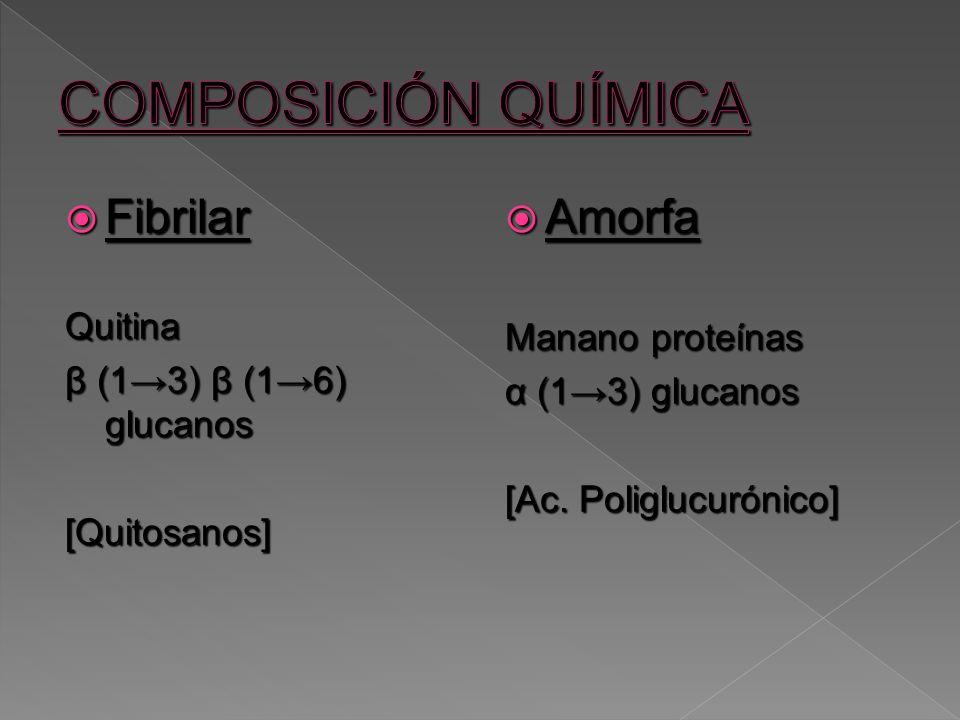 Fibrilar FibrilarQuitina β (13) β (16) glucanos [Quitosanos] Amorfa Amorfa Manano proteínas α (13) glucanos [Ac. Poliglucurónico]