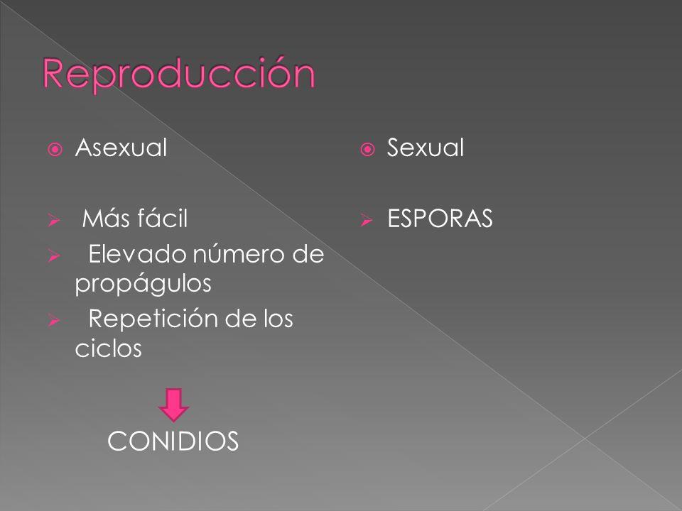 Asexual Más fácil Elevado número de propágulos Repetición de los ciclos Sexual ESPORAS CONIDIOS