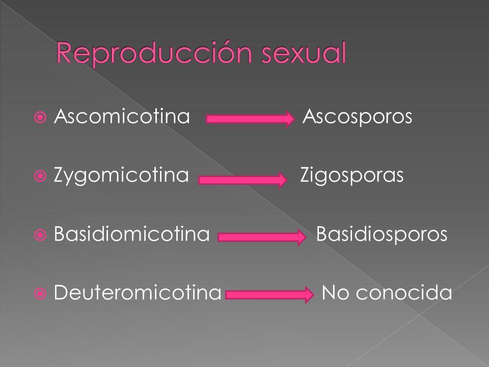 Ascomicotina Ascosporos Zygomicotina Zigosporas Basidiomicotina Basidiosporos Deuteromicotina No conocida
