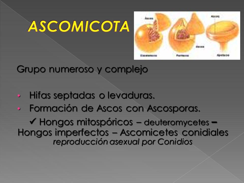 Grupo numeroso y complejo Hifas septadas o levaduras. Hifas septadas o levaduras. Formación de Ascos con Ascosporas. Formación de Ascos con Ascosporas
