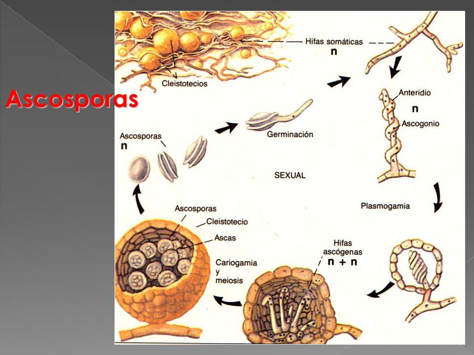 Ascosporas