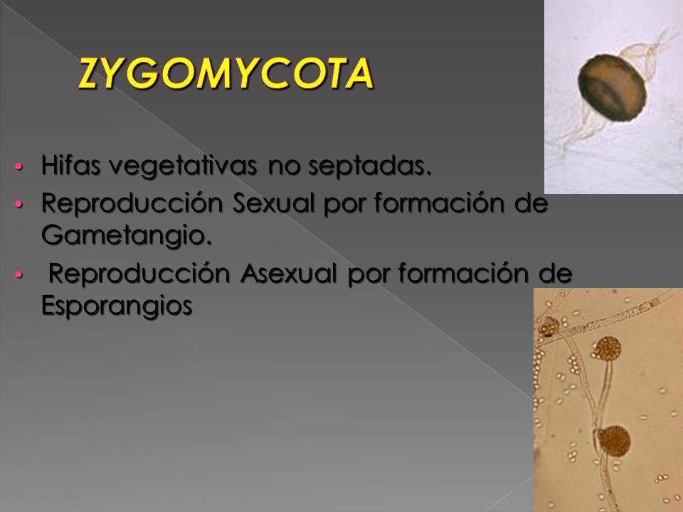 Hifas vegetativas no septadas. Hifas vegetativas no septadas. Reproducción Sexual por formación de Gametangio. Reproducción Sexual por formación de Ga