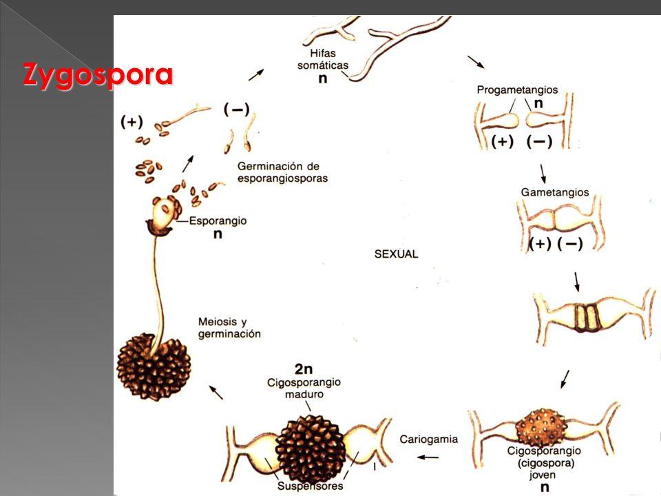 Zygospora