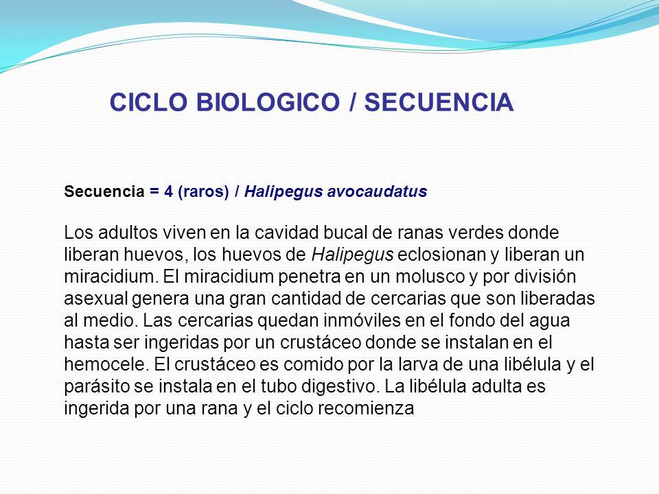 CICLO BIOLOGICO / SECUENCIA Secuencia = 4 (raros) / Halipegus avocaudatus Los adultos viven en la cavidad bucal de ranas verdes donde liberan huevos,