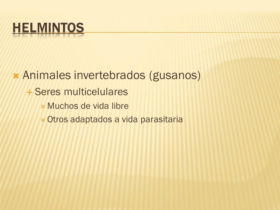 Otra característica de los helmintos es su íntima asociación con el eosinófilo.